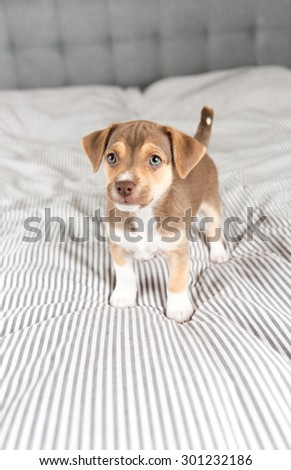 Small Puppy Playing on Striped Bed  - stock photo