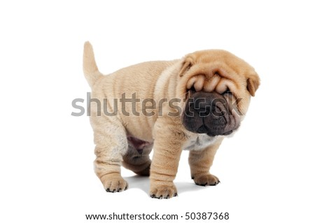 small purebred beige sharpei puppy isolated on white - stock photo
