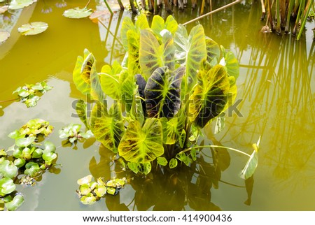 Small quiet pond, overgrown with lilies. Scenic decorative park Butchart Gardens on Guatemala - stock photo