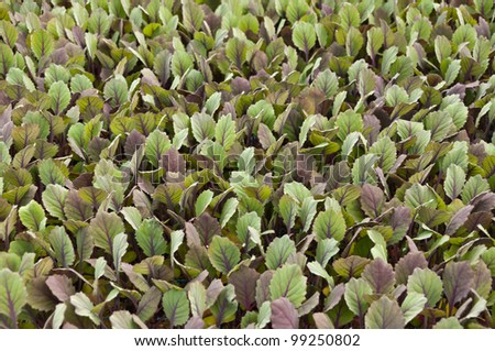 Small red cabbage plants in a greenhouse of a Dutch plant nursery - stock photo