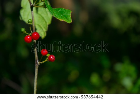 small red cherry on the tree with black background