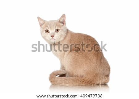 Small red cream british kitten on white background