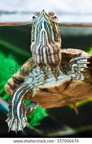 Small red-eared turtle in aquarium - stock photo