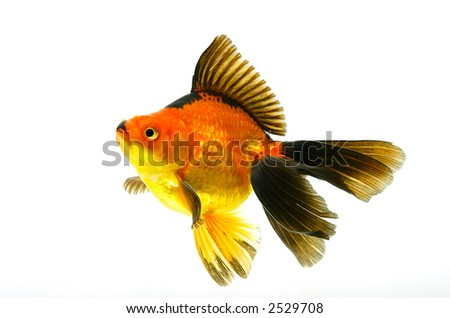 Small red fish isolated on white - stock photo