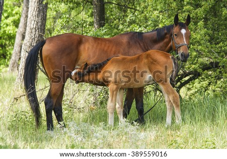 small red horse with a white blaze on his head walking with his mother in the green forest at summer
