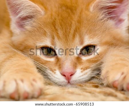 Small red kitten - stock photo