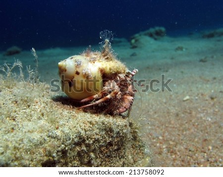 Small reef hermit crab on a rock - stock photo