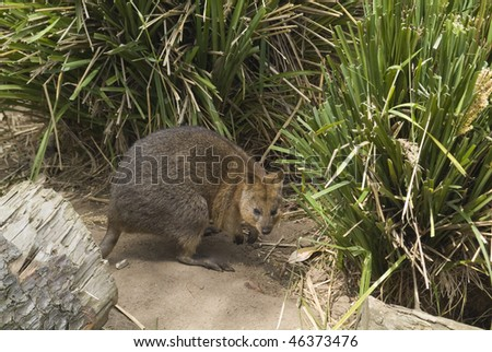 small rock wallaby