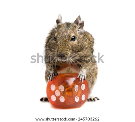 small rodent standing with big dice cube full-length closeup isolated on white - stock photo