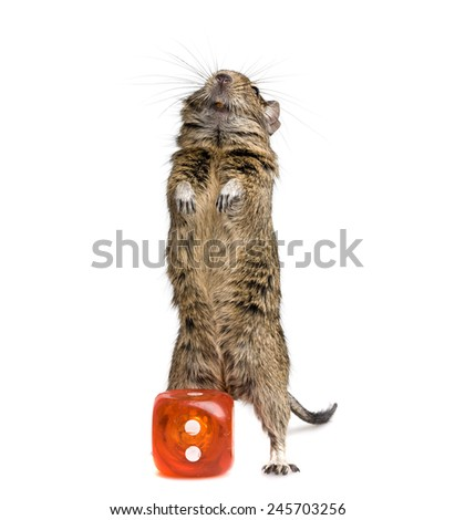 small rodent standing with big die block full-length closeup on white background - stock photo