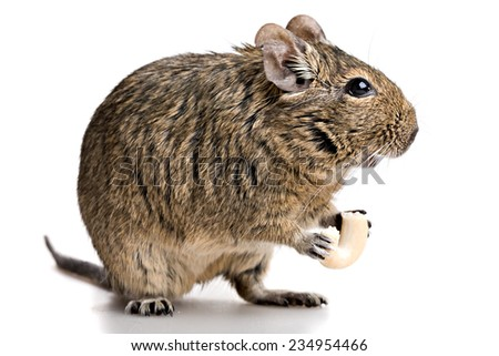 small rodent stands profile with food in paws, full-size front view isolated on white background - stock photo