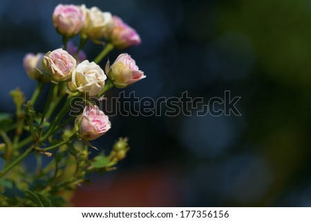 Small roses and dark green background - stock photo