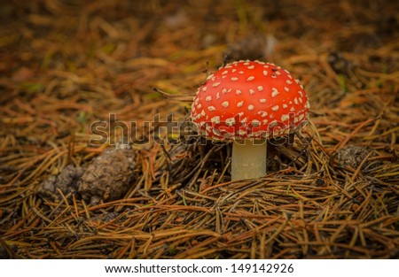 small round fly agaric mushroom in dry pine needles