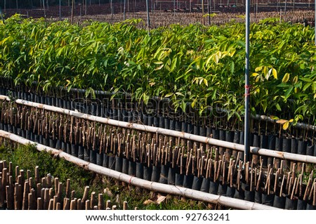 Small rubber tree - stock photo