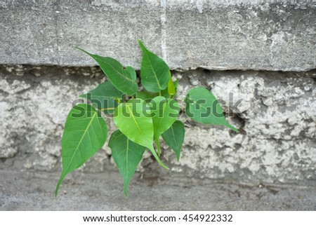 Small Sacred Fig Tree