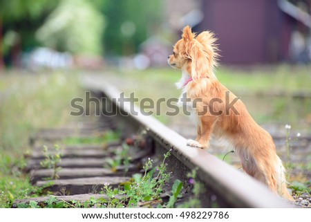 Small sad Chihuahua dog patiently waiting on a railroad for her person to come back. Dogs are loyal friends.