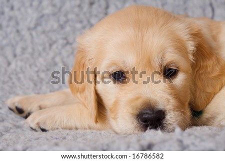 Small sad retriever puppy on gray background