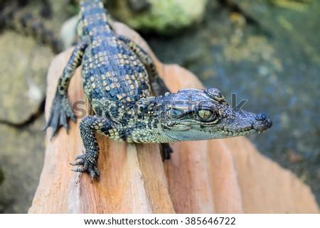 Small Saltwater Crocodile. - stock photo