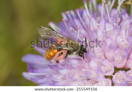 Small Scabious Mining-bee, Andrena marginata on scabious flower - stock photo