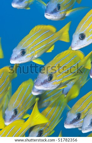 Small school of blue striped snapper (Lutjanus kasmira). Sharm el Sheikh, Red Sea, Egypt.