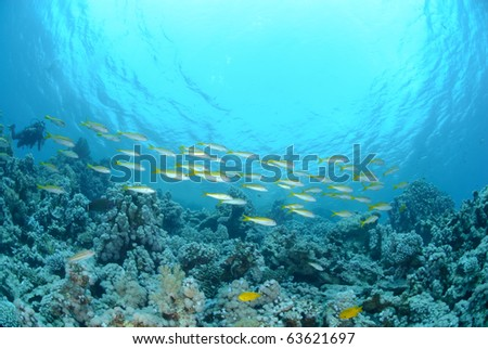 Small school of Red sea goatfish (Parupeneus forsskali). Red Sea, Egypt.