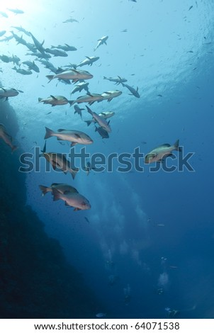 Small school of tropical Twinspot snapper, blue background with scuba divers. Shark reef, Ras Mohamed national Park, Red Sea, Egypt.