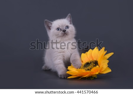 small Scottish Fold kitten on a colored background - stock photo