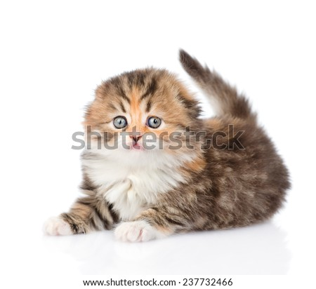 Small scottish kitten lying in front. isolated on white background - stock photo