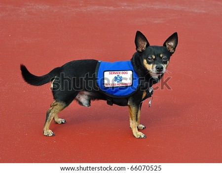 Small Service Dog Standing, Red Background - stock photo