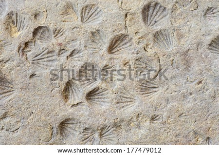 small shell imprint fossils in shale rock - stock photo
