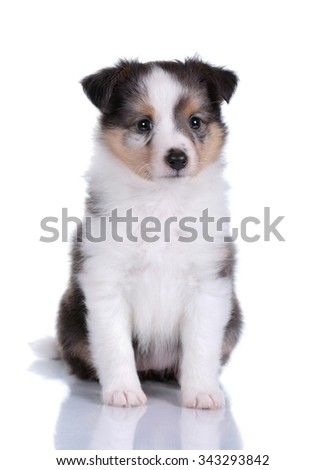 Small Sheltie puppy on a white background - stock photo