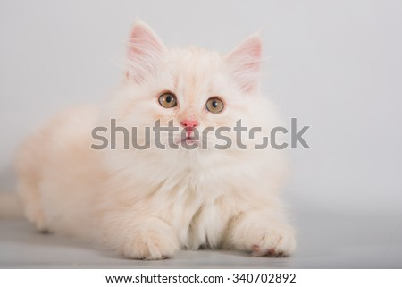 Small Siberian kitten on grey background. Cat lying. - stock photo