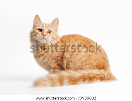 small siberian kitten on white background - stock photo