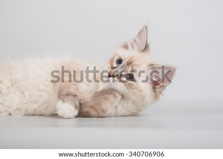 Small Siberian Neva Masquerade kitten on gray background. Cat lying. - stock photo