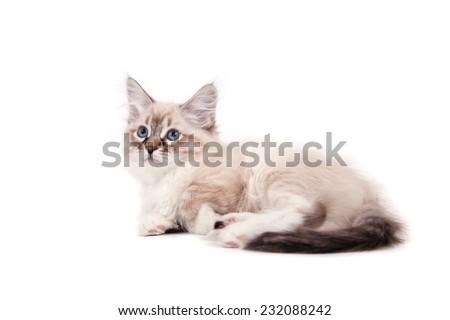 Small Siberian Neva Masquerade kitten on white background.  - stock photo