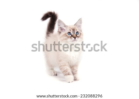 Small Siberian Neva Masquerade kitten on white background. Cat stand. - stock photo