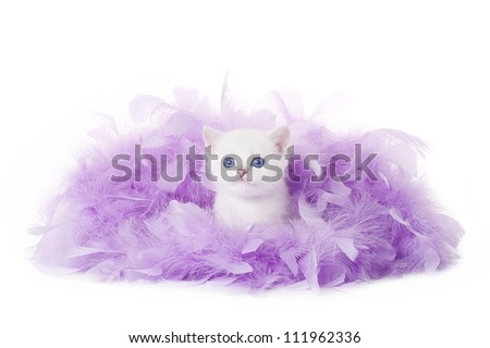 small silver british kitten in pink plume on white background - stock photo