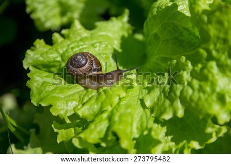 small snail on the leaf of the green lettuce - stock photo