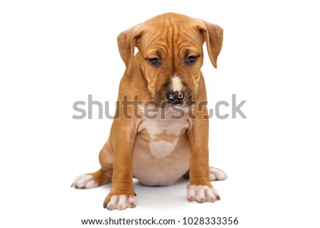 Small Staffordshire Terrier puppy isolated on white background