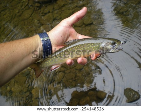 Small Stream Brook Trout - stock photo