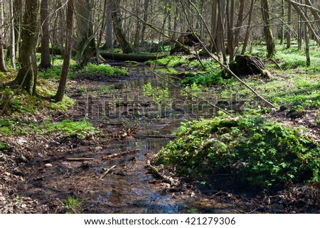 Small stream flowing across springtime deciduous stand of Bialowieza Forest, Bialowieza Forest, Poland, Europe - stock photo