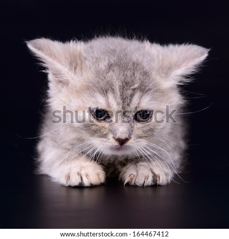small striped kitten Scottish marble breed. animal isolated on black background