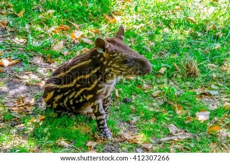 small stripped baby of the endangered South American tapir (Tapirus terrestris) - stock photo