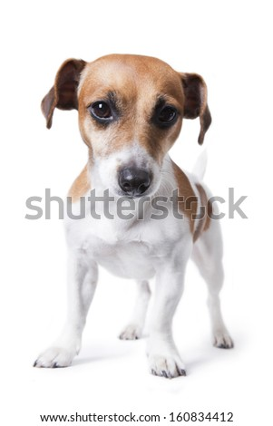 Small strong athletic muscular dog. White background. Studio shot. Sports pet