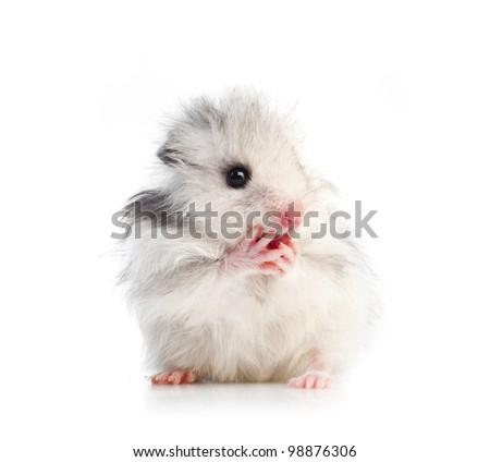 small Syrian hamster - stock photo