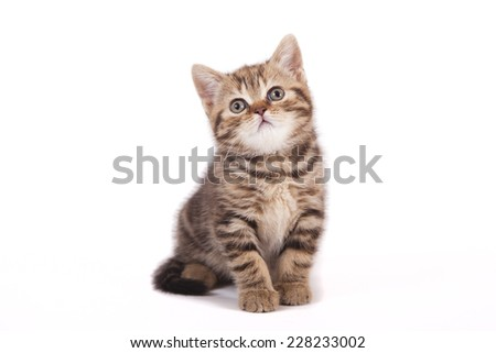 Small tabby British kitten on white background. Cat sitting.