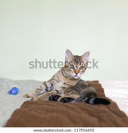 Small Tabby Cat in Bedroom - stock photo