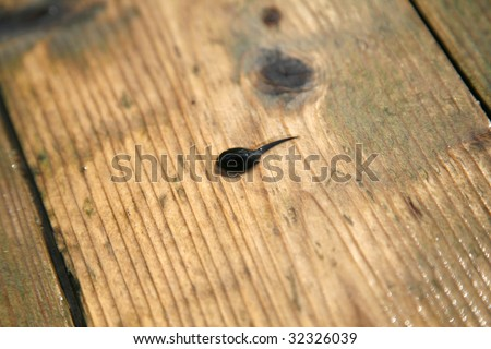 small tadpole beyond the lake, on land - stock photo