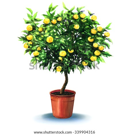 small tangerine tree in pot isolated on the white - stock photo