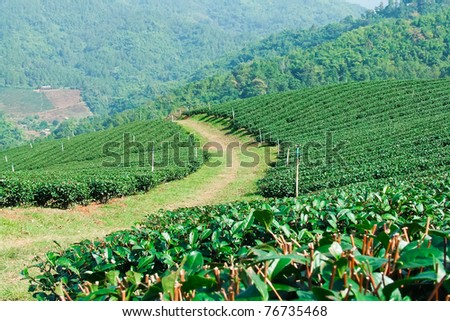 Small tea plantation on the mountain of Northern Thailand . - stock photo